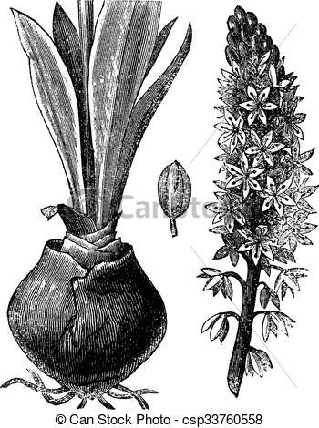 Clipart Vector of Sea squill (Urginea [scilla] maritima), vintage.