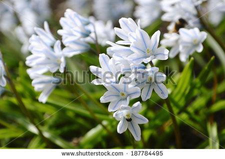 Scilla Siberica Alba Stock Photo 187784495 : Shutterstock.