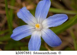 Scilla siberica Stock Photo Images. 287 scilla siberica royalty.