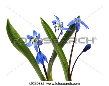 Stock Photo of Siberian squill or Scilla siberica k9230882.