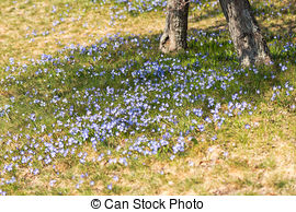 Pictures of Siberian squill (Scilla siberica; wood squill) and.