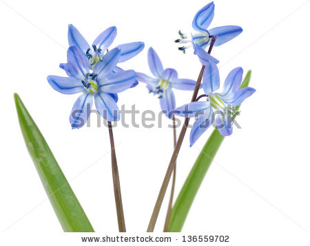 Squill Of The Life Stock Photos, Royalty.