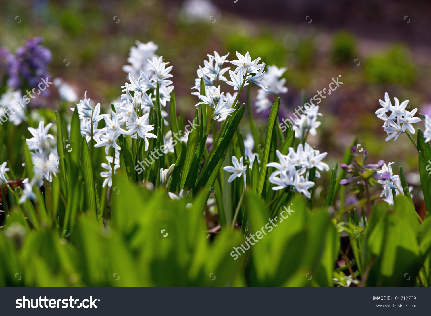 Siberian Squill (Scilla Siberica; Wood Squill) And Lucile'S Glory.