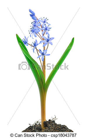 Pictures of Siberian squill (Scilla siberica) on white background.