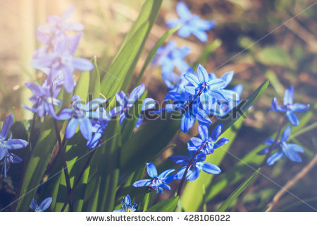 Siberian Bluebell Stock Photos, Royalty.