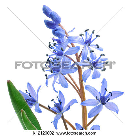 Stock Photo of Siberian squill (Scilla siberica) k12120802.