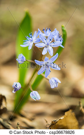 Stock Photo of Siberian squill (Scilla siberica; wood squill) and.