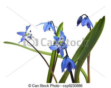 Stock Image of Siberian squill or Scilla siberica on a white.