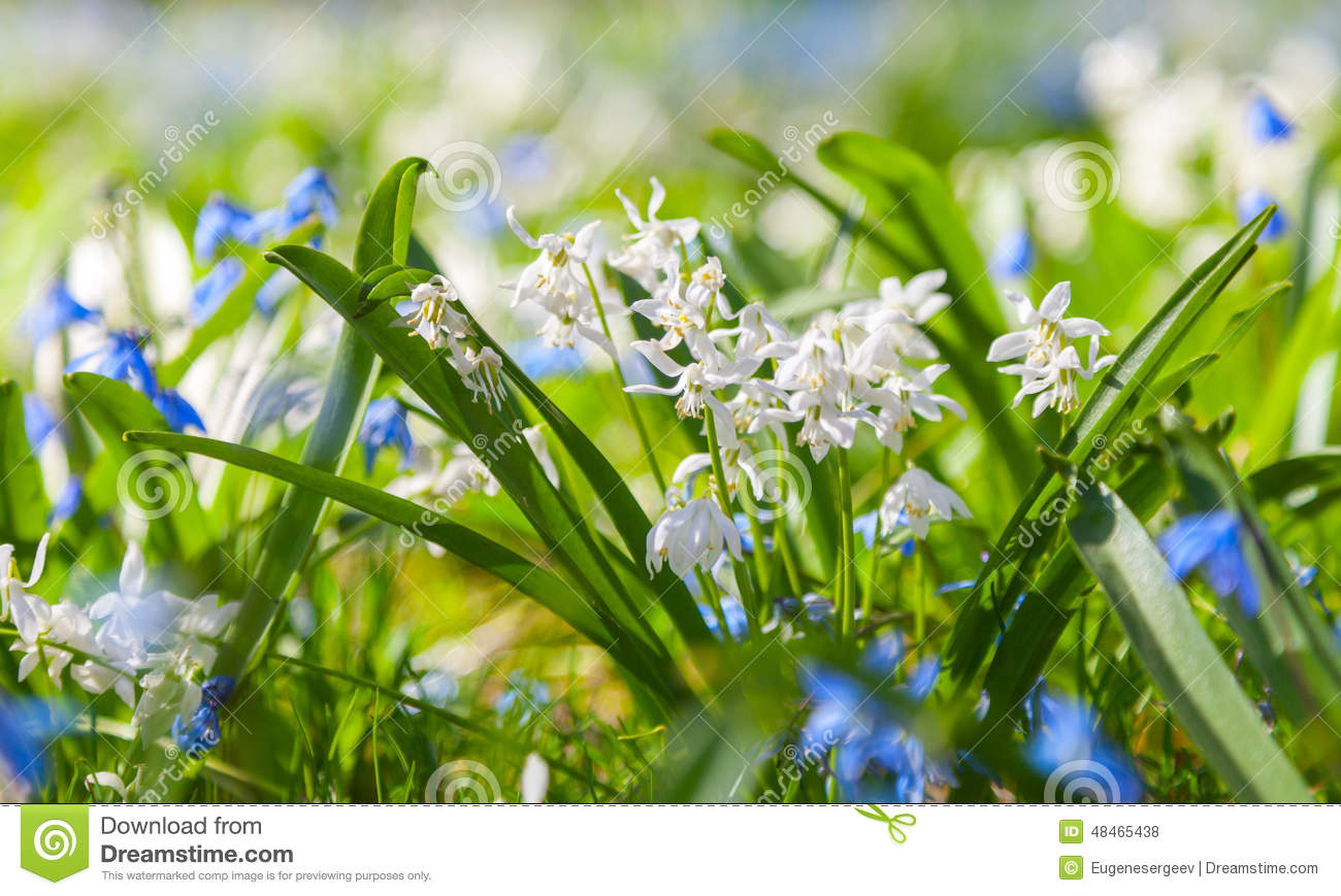Scilla Sibirica, Blue And White Spring Flowers Stock Photo.