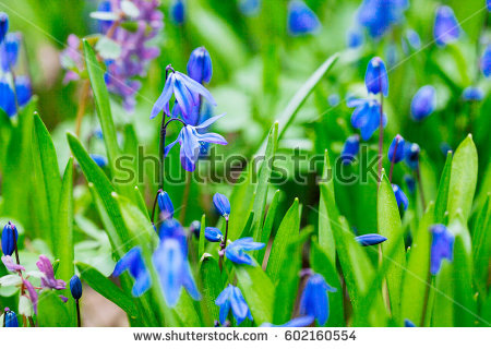 Scilla Stock Images, Royalty.