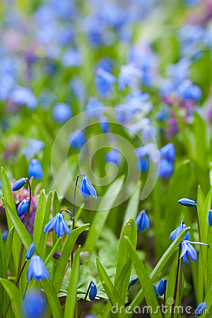 Blue And White Spring Flowers. Scilla Sibirica Stock Photo.