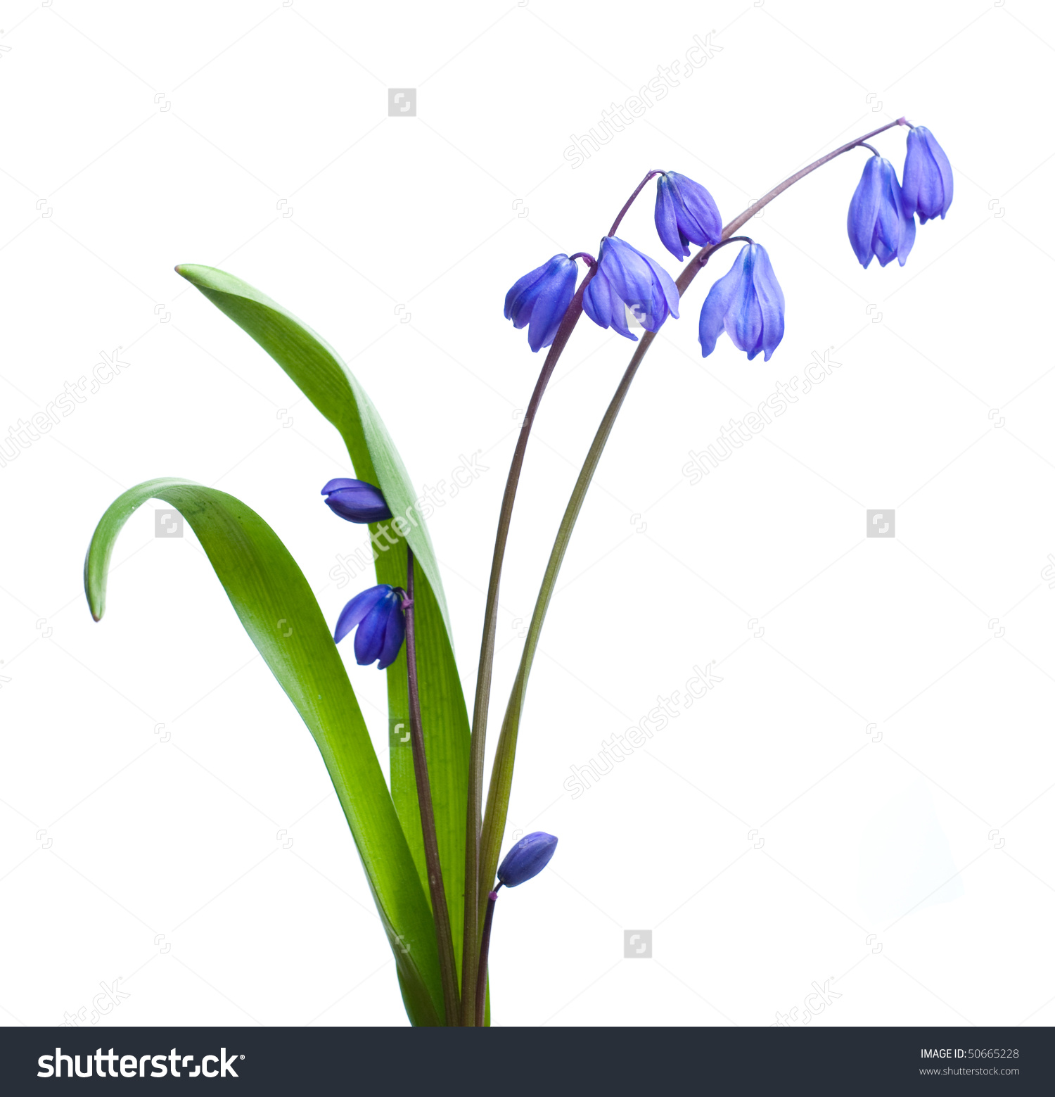 First Spring Flower Scilla Siberica Stock Photo 50665228.