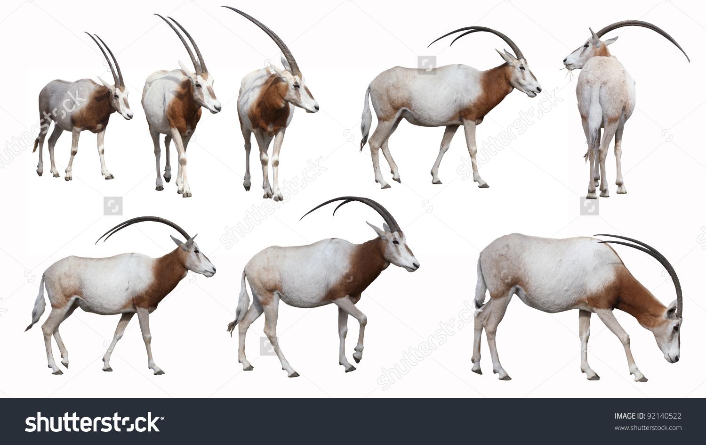 Scimitarhorned Oryx Antelope Extinct Wild Stock Photo 92140522.