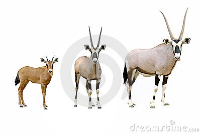 Oryx Stock Photography.
