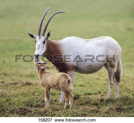 Picture of Scimitar Oryx and cub / Óryx dammah 158207.