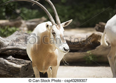Stock Photography of Scimitar Oryx.