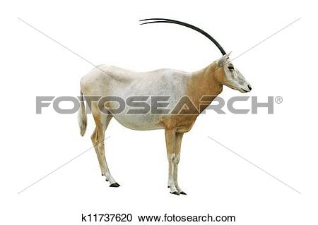 Stock Photography of Scimitar horned oryx k11737620.