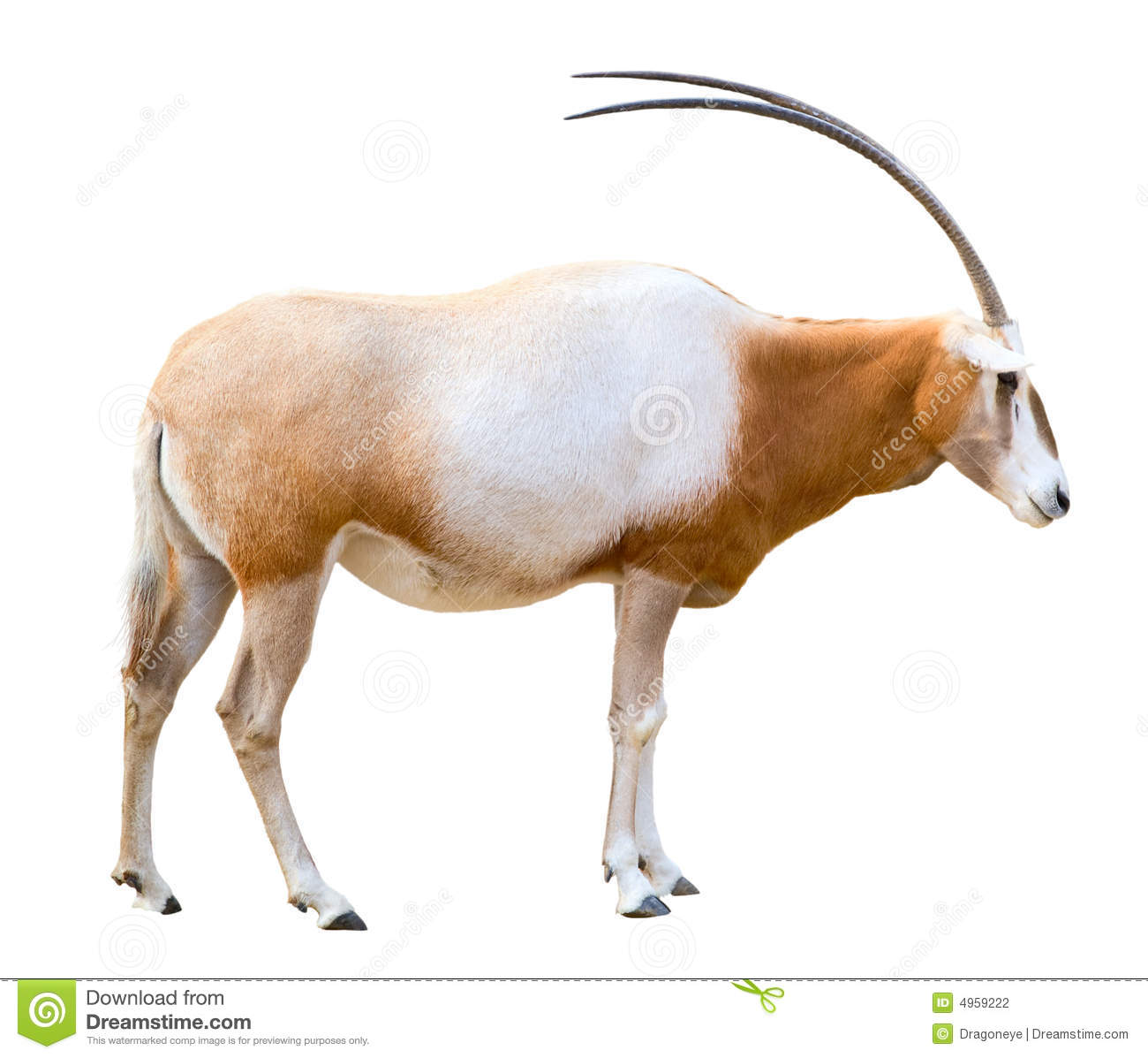Scimitar Horned Oryx Cutout Stock Photography.