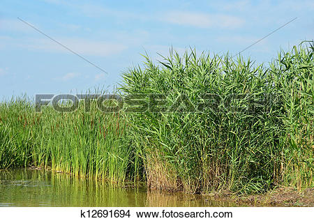 Stock Photo of Reed (Scirpus gen.) spinney in river k12691694.
