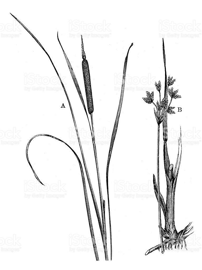 Antique Illustration Of Typha Latifolia And Scirpus Lacustris.