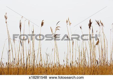 Pictures of Bulrush (Scirpus lacustris) x18281548.