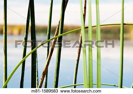 Stock Photo of Cattail Typha latifolia and Bulrush Scirpus.