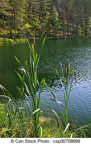 Stock Photographs of Scirpus plants on the lake csp30708699.
