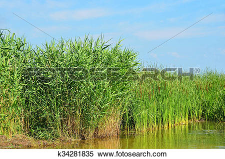 Stock Image of Reed (Scirpus gen.) spinney in river k34281835.