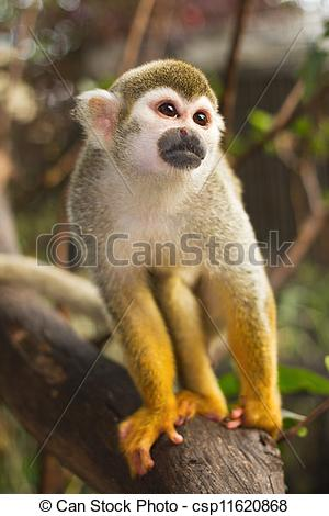 Stock Image of Squirrel Monkey;a Common Squirrel Monkey (Saimiri.