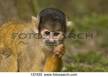 Stock Photo of Common Squirrel Monkey.