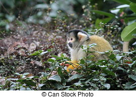 Stock Photo of Squirrel Monkey (Saimiri sciureus) close up.