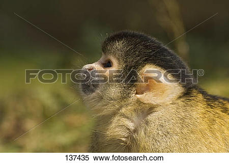 Stock Image of Common Squirrel Monkey.
