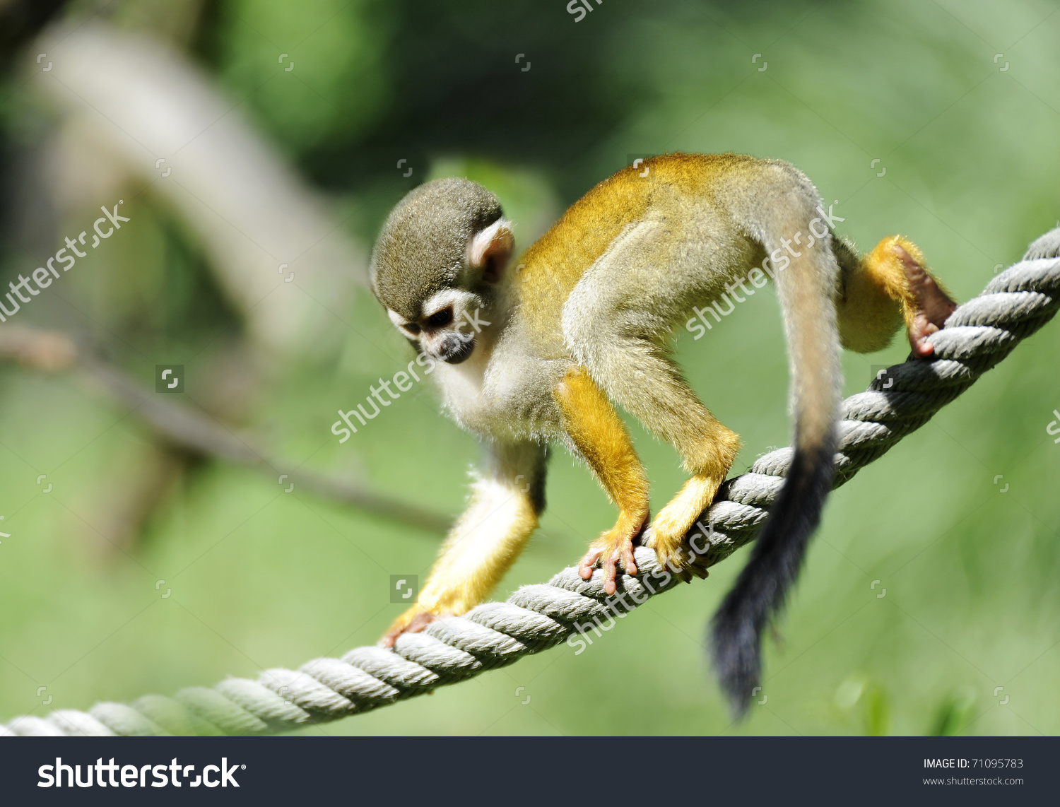 Common Squirrel Monkey Saimiri Sciureus On Stock Photo 71095783.