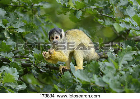 Stock Photo of Common Squirrel Monkey (Saimiri sciureus) on a twig.