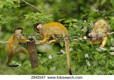 Picture of three common squirrel monkeys (Saimiri sciureus), full.