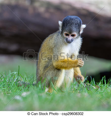 Stock Photography of Small common squirrel monkeys (Saimiri.