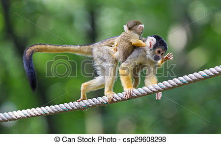 Stock Photographs of Small common squirrel monkeys (Saimiri.