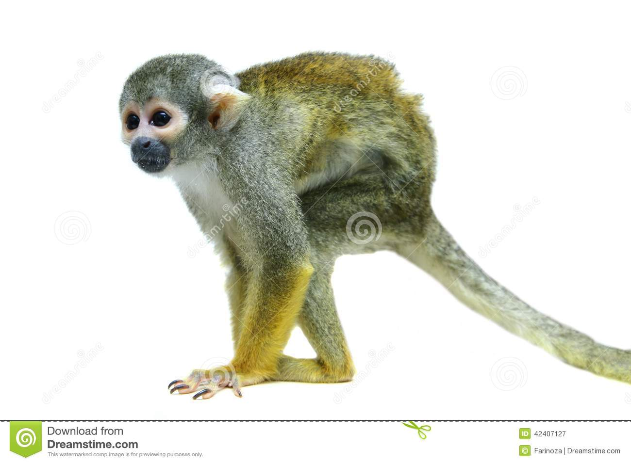 Common Squirrel Monkey Saimiri Sciureus Stock Photos, Images.