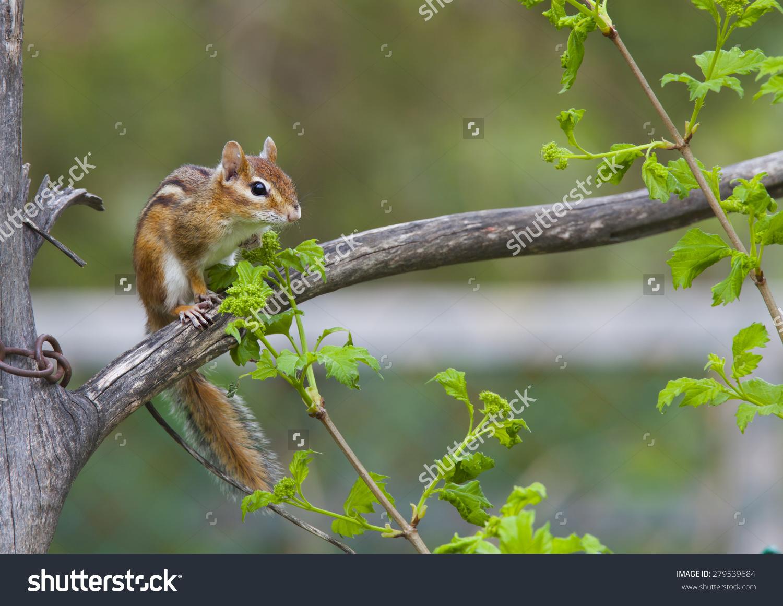 Eastern Chipmunk, Animalia/Chordata/ Mammalia/Rodentia.
