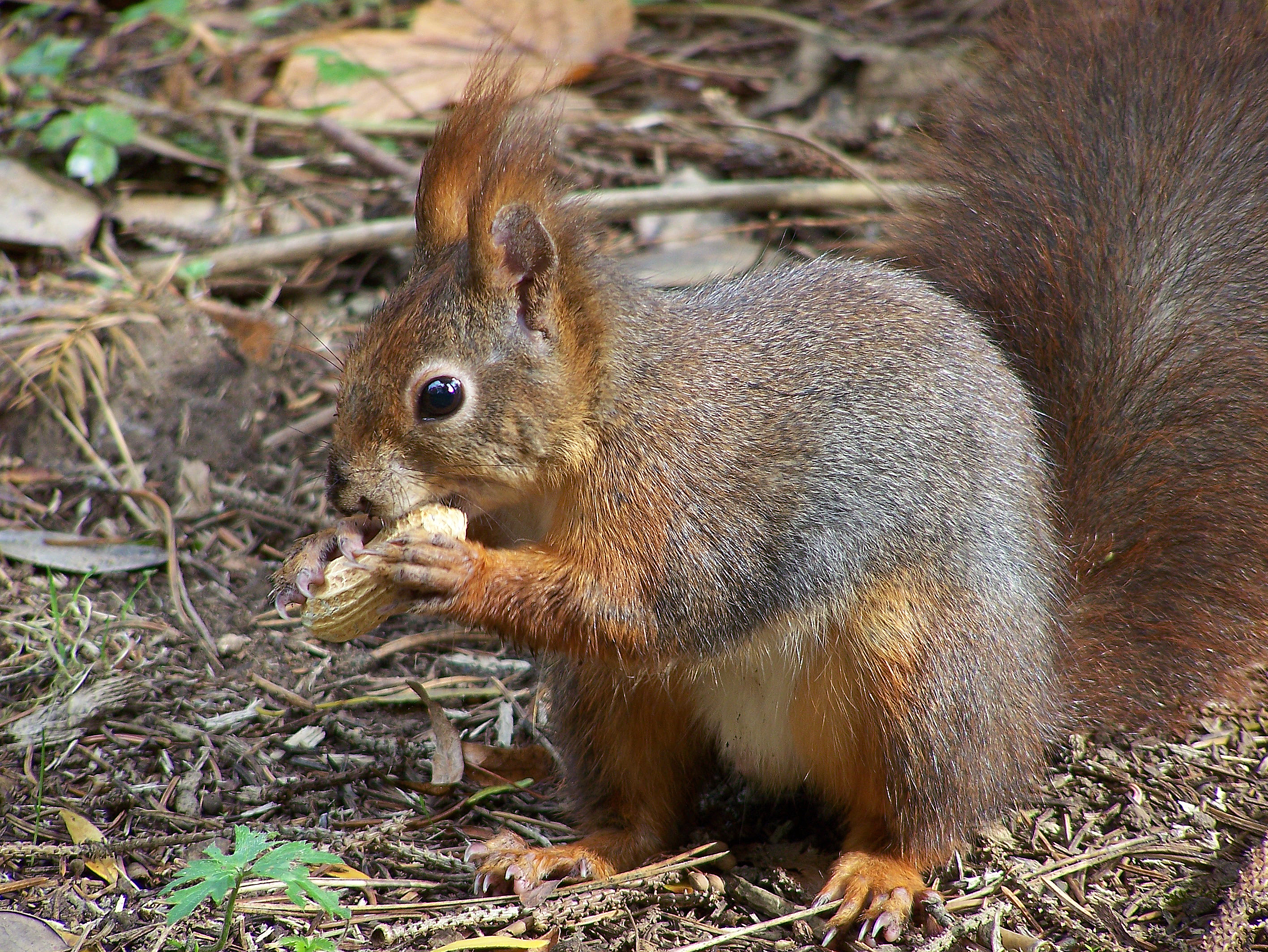 Red squirrel, Squirrel and Red on Pinterest.
