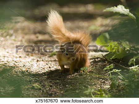 Stock Photography of Red Squirrel (Sciurus vulgaris leucourus.