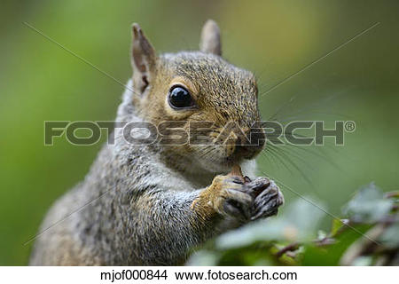 Stock Photo of Grey squirrel, Sciurus carolinensis, eating.
