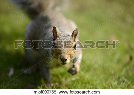Stock Image of Portrait of curious Grey squirrel, Sciurus.
