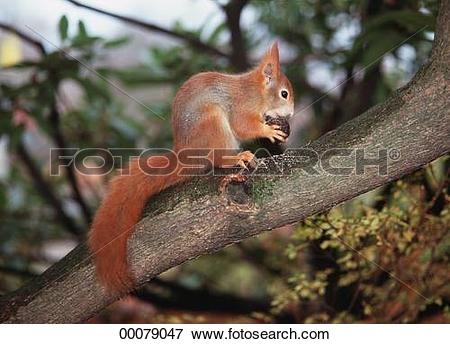 Picture of European, Juniors, Sciurus, animal, animals, bough.