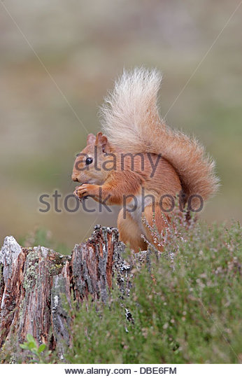 Squirrel With Food Stock Photos & Squirrel With Food Stock Images.