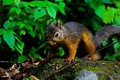 Stock Photo of Japanese Squirrel (Sciurus Vulgaris Orientis.