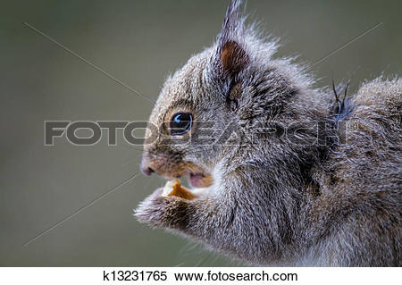 Stock Image of A very cute Japanese Brown Squirrel (Sciurus lis.