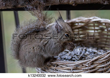 Stock Photo of A very cute Japanese Brown Squirrel (Sciurus lis.