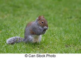 Stock Photos of A very cute Japanese Brown Squirrel (Sciurus lis.