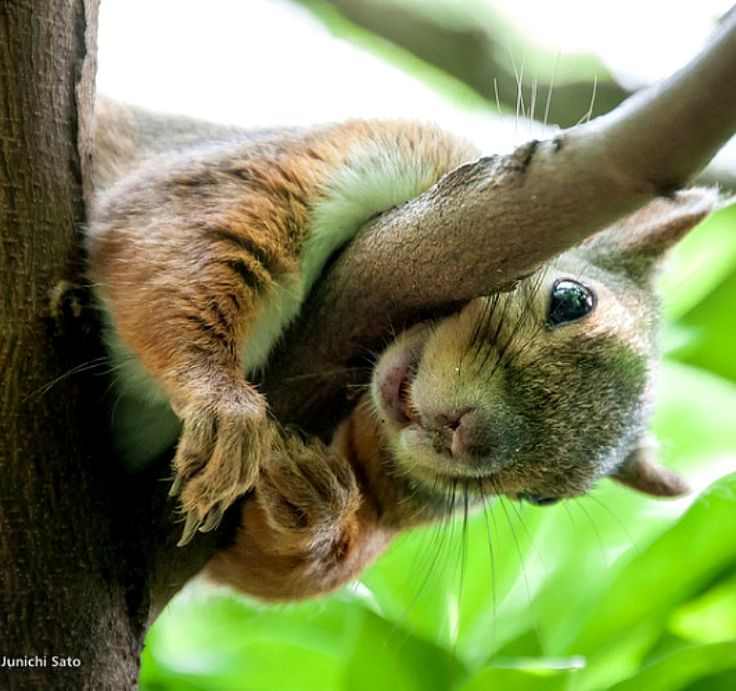 1000+ ideas about American Red Squirrel on Pinterest.